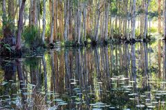Reflections in a Swamp. A mirror reflection of paperbark trees in a swamp Stock Image
