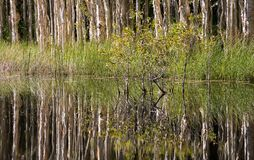 Reflections in a Swamp. A mirror reflection of paperbark trees in a swamp. This typifies the concept of peace and solitude Stock Images