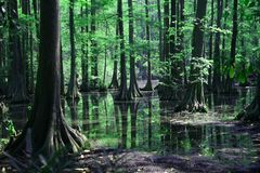 Cypress swamp reflection Stock Photo