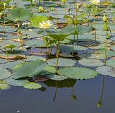 Reflections of Lotus on the waters of Carter Lake Iowa. Reflections of lotus flowers at varying stages of development on the waters of Carter Lake Iowa. Lotus stock photography