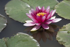 Reflections of waterlily. Waterlily in pond royalty free stock images