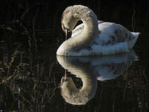 Reflections of a young swan. A serene swan preening herself while waiting for her white feathers to come through Stock Photos