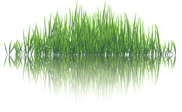 Reflective grass. Vector illustration of reflective grasses on water Stock Photography
