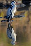 Reflective Heron. Nothing special about this photo. Just a nice reflection of this Grey Heron Royalty Free Stock Images