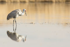Reflective image of sandhill crane Stock Photography