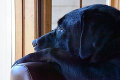 A reflective Labrador (lab) Royalty Free Stock Images