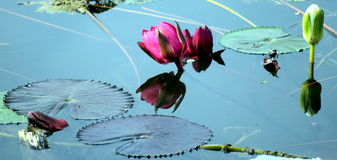 A reflective lotus on the pond in india Royalty Free Stock Images