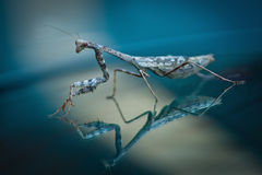 Reflective Praying Mantis Stock Photography