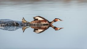 Reflective swimming with a crested grebe royalty free stock images