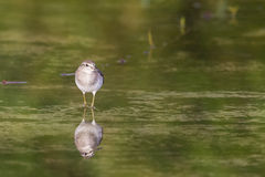 Reflective wader. A cute wood sandpiper looking for foods Stock Photo