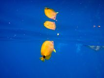 Reflective yellow tropical fish Royalty Free Stock Photography