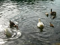 Ducks family in a relaxed water lake. Reflects in a relaxed water , bigs and littles ducks, white, brown green, beautiful, relax, peace royalty free stock photo