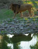 Reflejo del león imagen de archivo