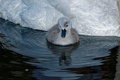 Reflejo del pollo del cisne del cisne mudo Foto de archivo