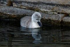 Reflektera för ung svan för stum svan Royaltyfria Bilder