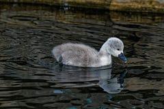 Reflektera för ung svan för stum svan Arkivfoto
