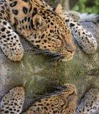 Reflektera för leopard Royaltyfria Bilder
