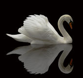 reflekterad swan arkivbild