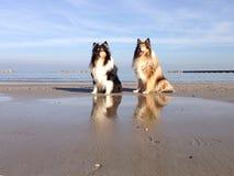 Reflekterande hundkapplöpning på stranden Fotografering för Bildbyråer