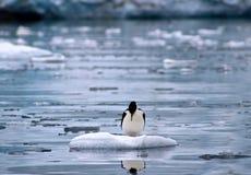 Reflekterande kormoran - Antarktis Arkivfoto