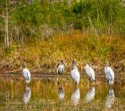 Reflekterande trästorkar i en Florida lagun royaltyfri foto