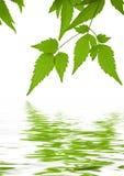 reflekterat vatten för clematisgreen leaves royaltyfri bild