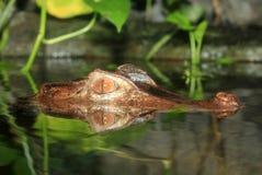 reflekterat vatten för krokodil nile Arkivfoto