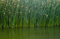 Reflektierende grüne Schilfe Stockfotos