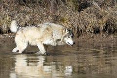 Reflektierender Wolf auf der Jagd Lizenzfreies Stockfoto