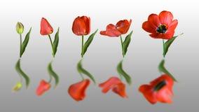 Reflektierte Tulpe lizenzfreie stockbilder