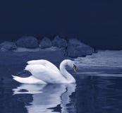 Reflexão da cisne Imagens de Stock