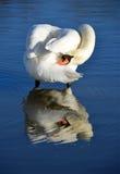 Reflexão da cisne Fotografia de Stock Royalty Free