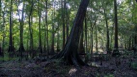 Reflexão da floresta do cipreste em águas claros de turquesa da lagoa de Ginnie Springs, Florida EUA fotos de stock royalty free