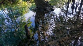 Reflexão da floresta do cipreste em águas claros de turquesa da lagoa de Ginnie Springs, Florida EUA foto de stock royalty free
