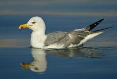 Reflexão da gaivota Foto de Stock Royalty Free