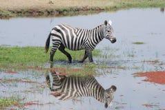 Reflexão da zebra Fotos de Stock