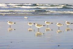 Reflexão das gaivotas Imagem de Stock