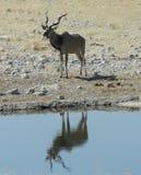 Reflexão de Kudu Imagens de Stock