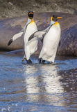 Reflexão de pinguins de rei na água Imagens de Stock