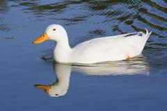 Reflexão de um pato branco Fotografia de Stock