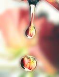 A reflexão de um vermelho levantou-se nas gotas da água Fotografia de Stock