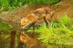 Reflexão de uma água bebendo solitária de raposa vermelha Fotografia de Stock
