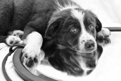 Reflexão do cachorrinho Imagem de Stock Royalty Free