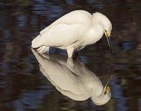 Reflexão do Egret nevado na lagoa Fotografia de Stock Royalty Free