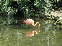 Reflexão do flamingo Fotografia de Stock Royalty Free