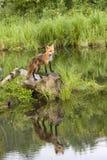 Reflexão do Fox vermelho Fotografia de Stock