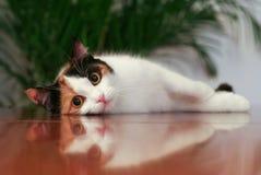 Reflexão do gato Imagens de Stock