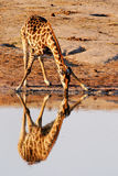 Reflexão do Giraffe foto de stock royalty free