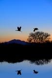 Reflexão do guindaste de Sandhill no azul da noite fotografia de stock