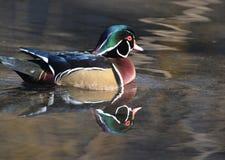 Reflexão do pato de madeira no parque da água foto de stock